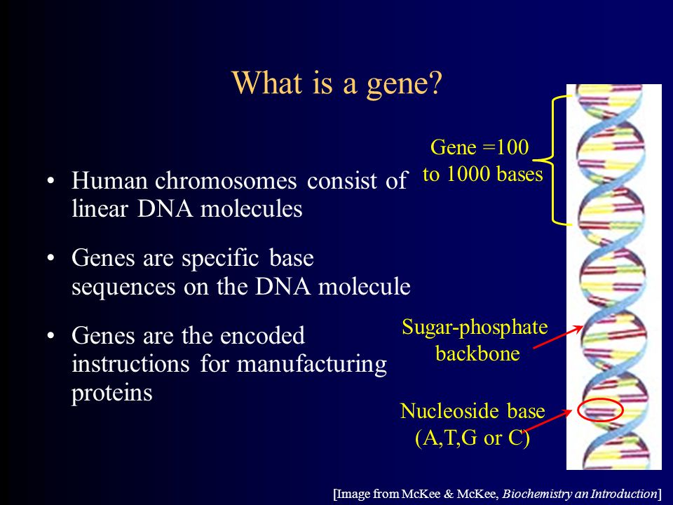 What is a gene Human chromosomes consist of linear DNA molecules