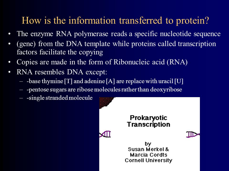 How is the information transferred to protein