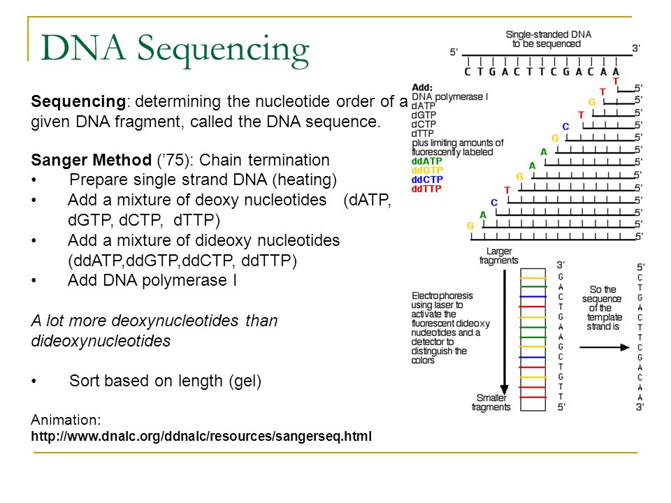 DNA Sequencing Sequencing: determining the nucleotide order of a given DNA fragment, called the DNA sequence.