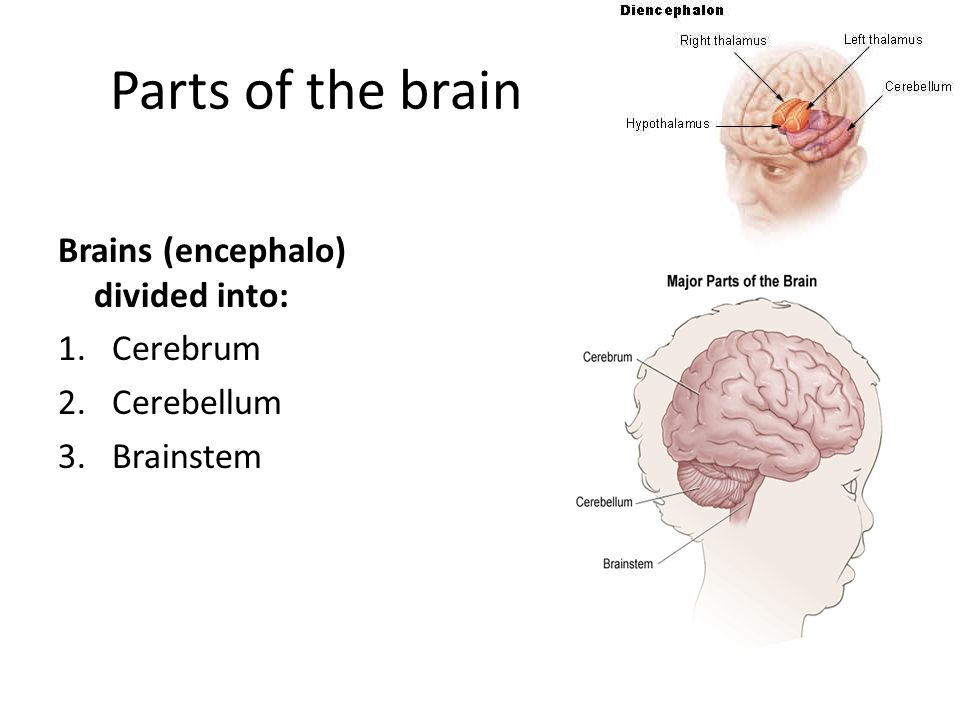 Parts of the brain Brains (encephalo) divided into: Cerebrum