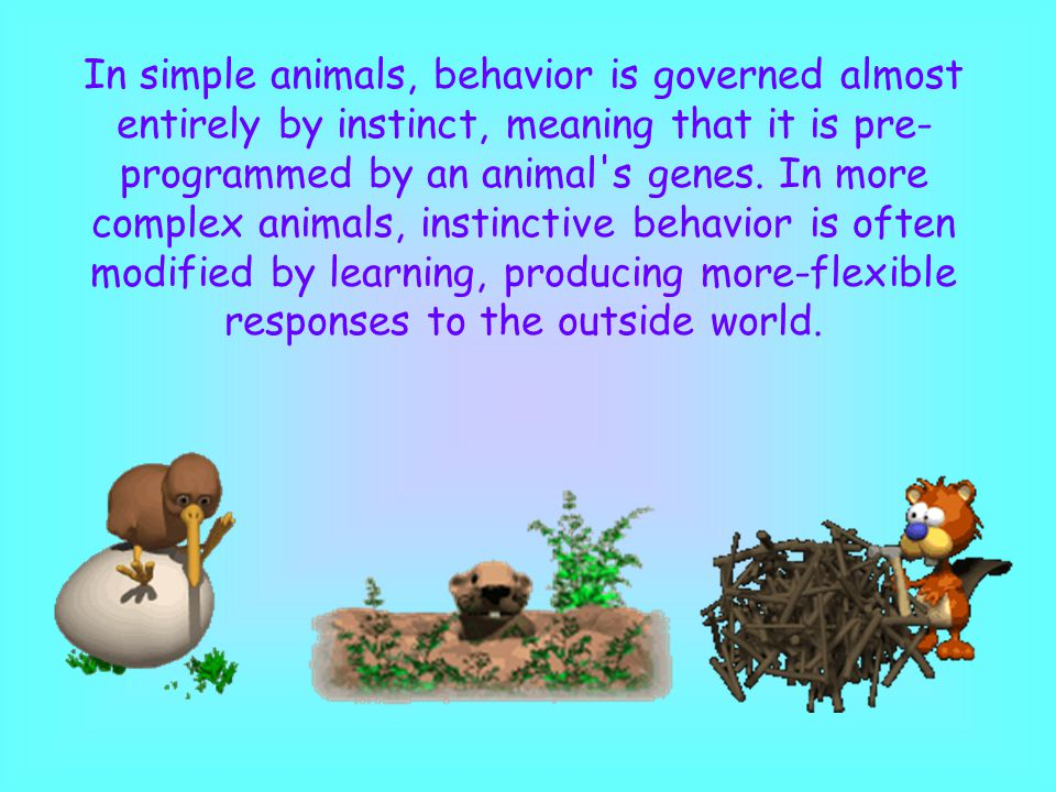 In simple animals, behavior is governed almost entirely by instinct, meaning that it is pre-programmed by an animal s genes.
