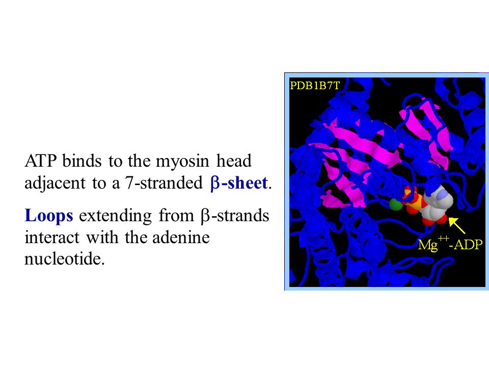 ATP binds to the myosin head adjacent to a 7-stranded b-sheet.