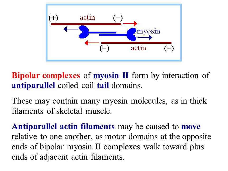 Bipolar complexes of myosin II form by interaction of antiparallel coiled coil tail domains.
