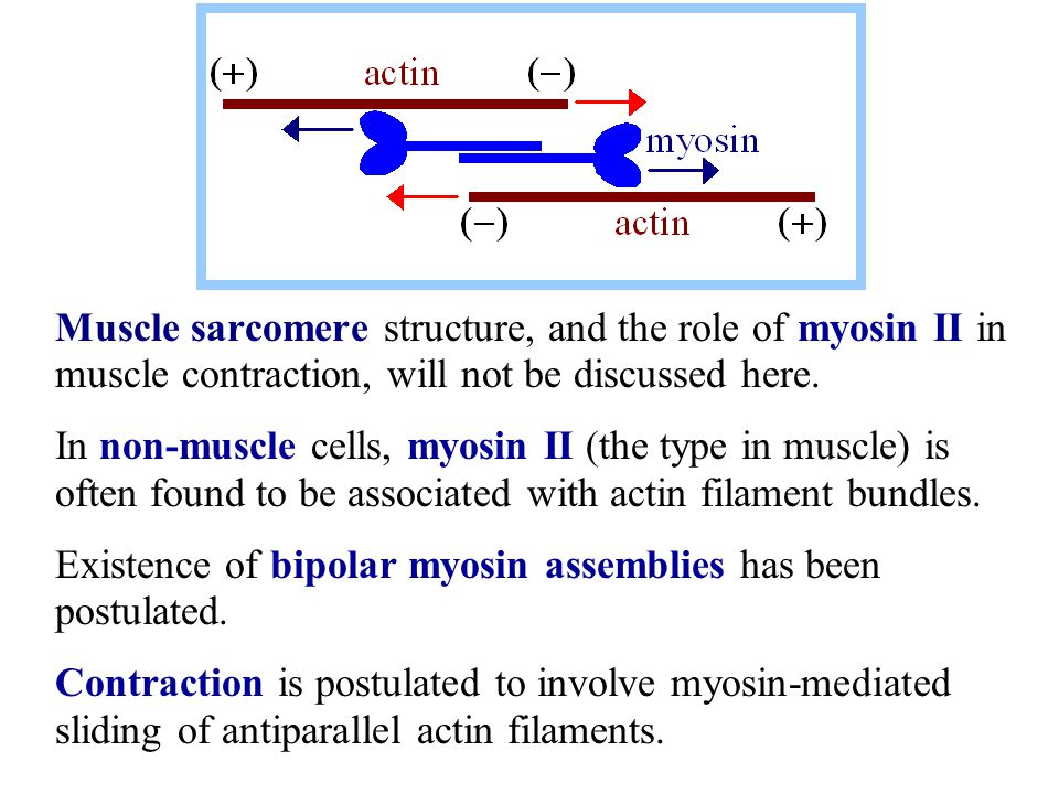 Muscle sarcomere structure, and the role of myosin II in muscle contraction, will not be discussed here.