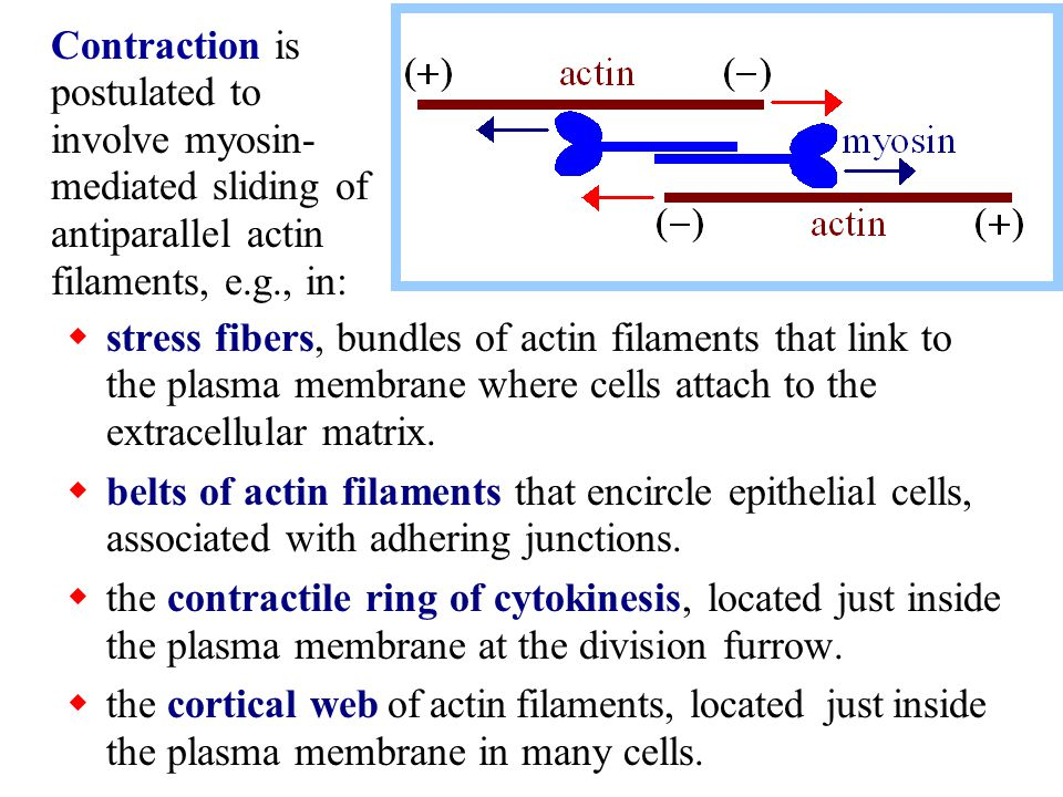 Contraction is postulated to involve myosin-mediated sliding of antiparallel actin filaments, e.g., in: