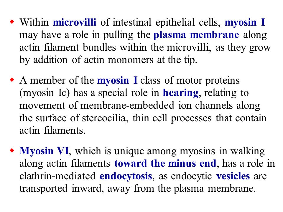 Within microvilli of intestinal epithelial cells, myosin I may have a role in pulling the plasma membrane along actin filament bundles within the microvilli, as they grow by addition of actin monomers at the tip.