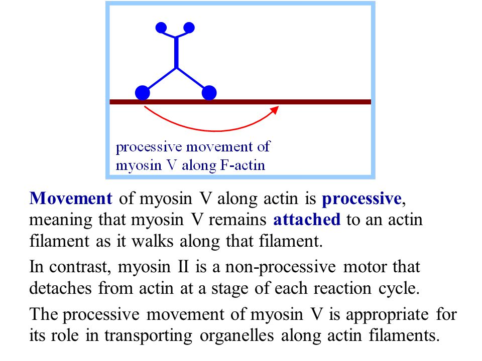 Movement of myosin V along actin is processive, meaning that myosin V remains attached to an actin filament as it walks along that filament.