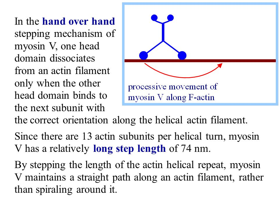 In the hand over hand stepping mechanism of myosin V, one head domain dissociates from an actin filament only when the other head domain binds to the next subunit with