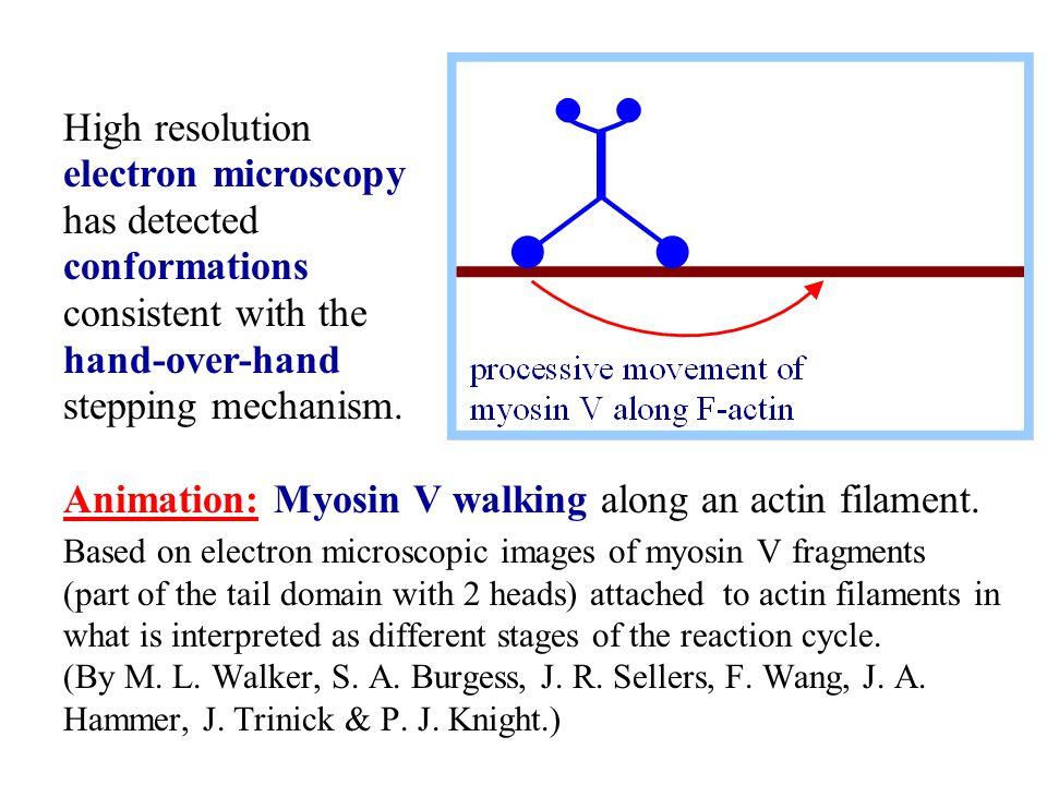 Animation: Myosin V walking along an actin filament.