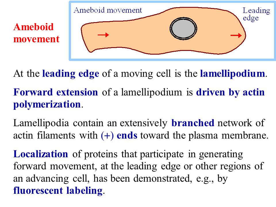 Ameboid movement At the leading edge of a moving cell is the lamellipodium. Forward extension of a lamellipodium is driven by actin polymerization.