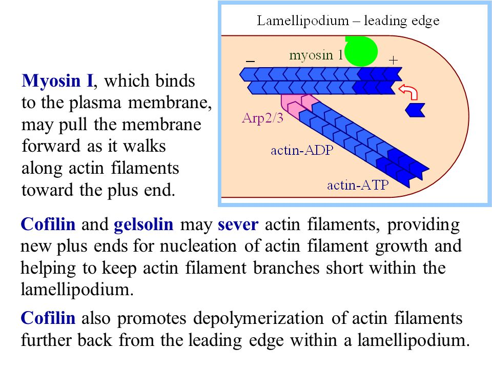 Myosin I, which binds to the plasma membrane, may pull the membrane forward as it walks along actin filaments toward the plus end.