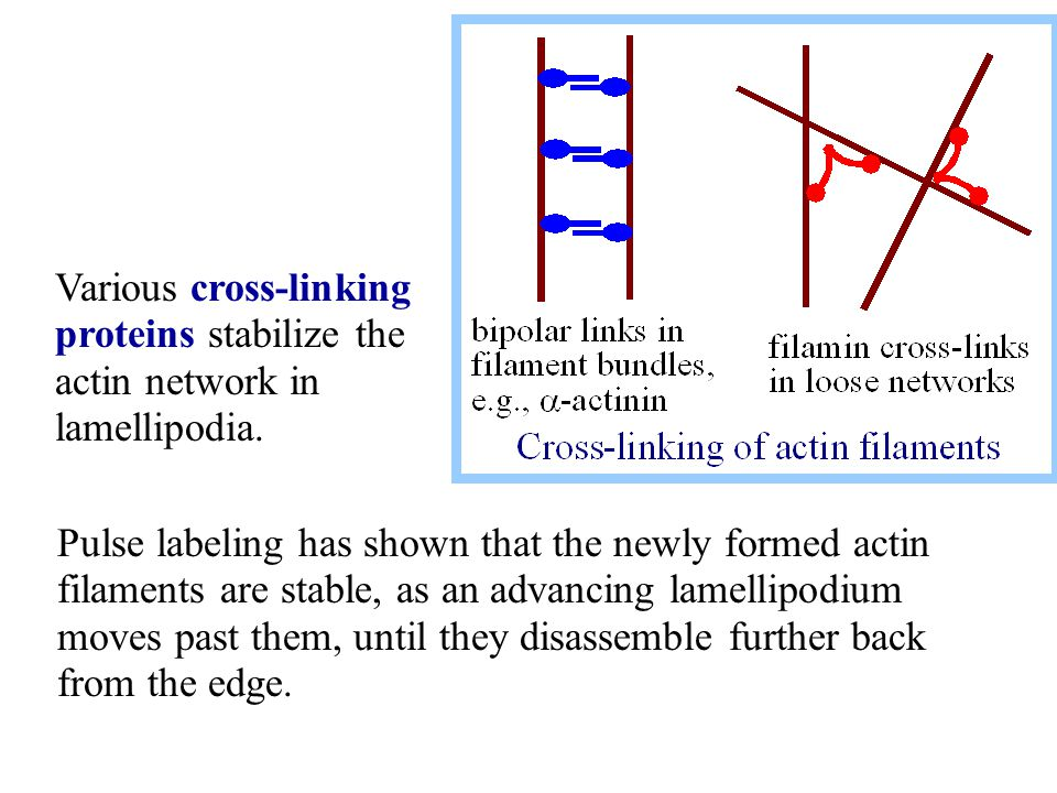 Various cross-linking proteins stabilize the actin network in lamellipodia.