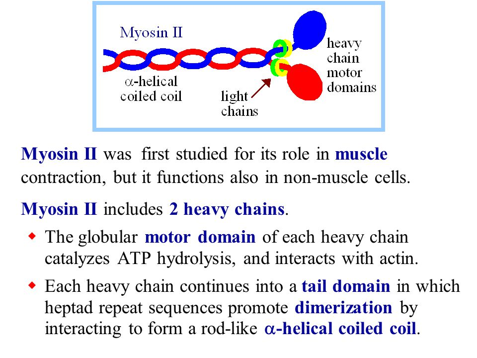 Myosin II was first studied for its role in muscle contraction, but it functions also in non-muscle cells.