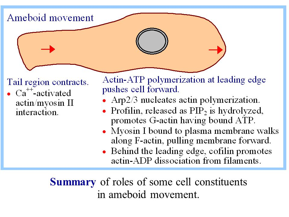 Summary of roles of some cell constituents in ameboid movement.
