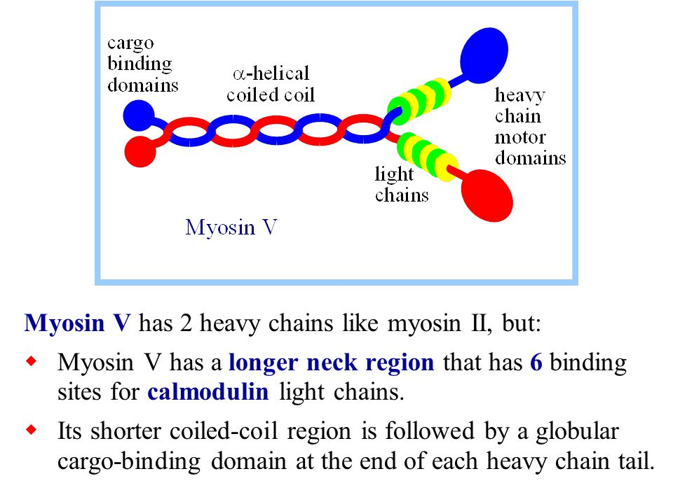 Myosin Light Chain 28 Images Myosins Myosin Atpase Myosin Light Chains Myosin Alkali Light