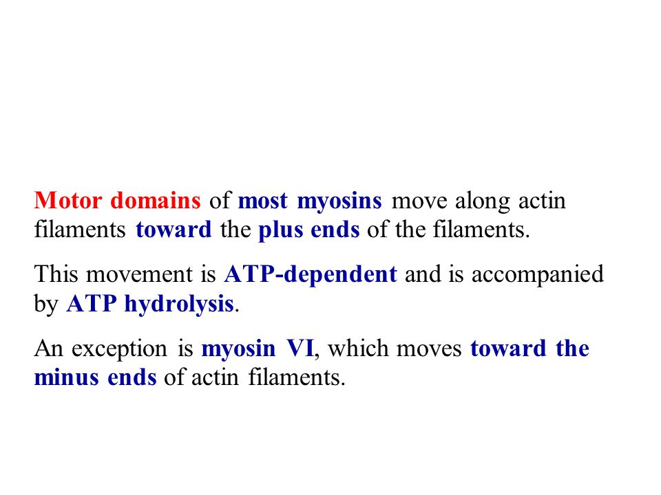 Motor domains of most myosins move along actin filaments toward the plus ends of the filaments.