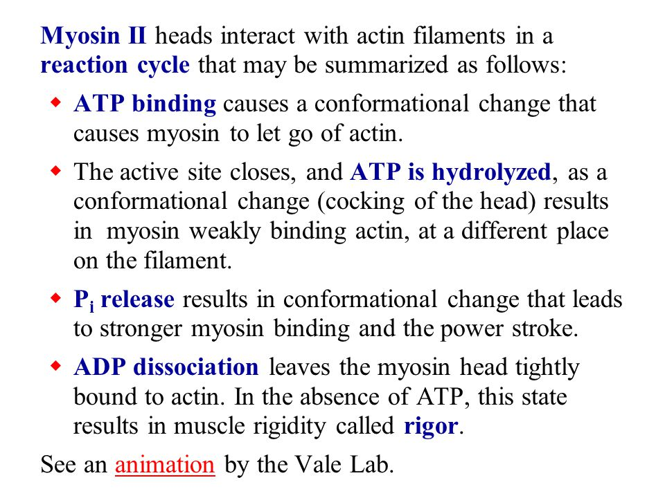 Myosin II heads interact with actin filaments in a reaction cycle that may be summarized as follows: