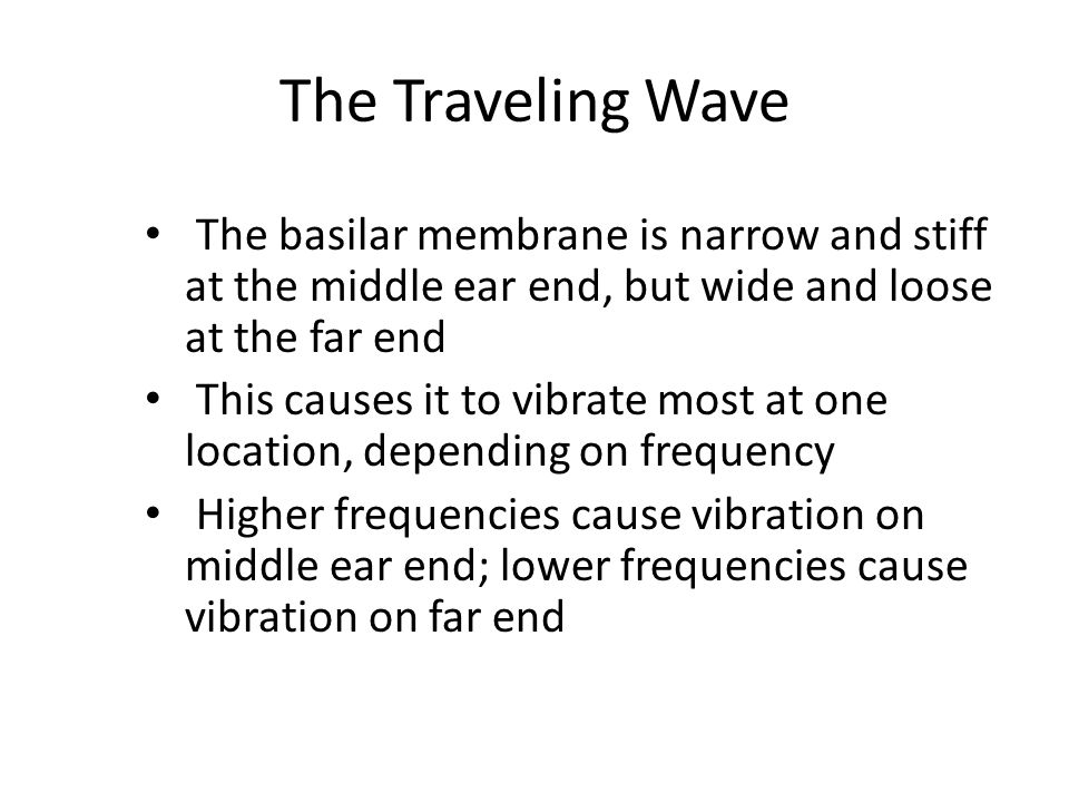 The Traveling Wave The basilar membrane is narrow and stiff at the middle ear end, but wide and loose at the far end.