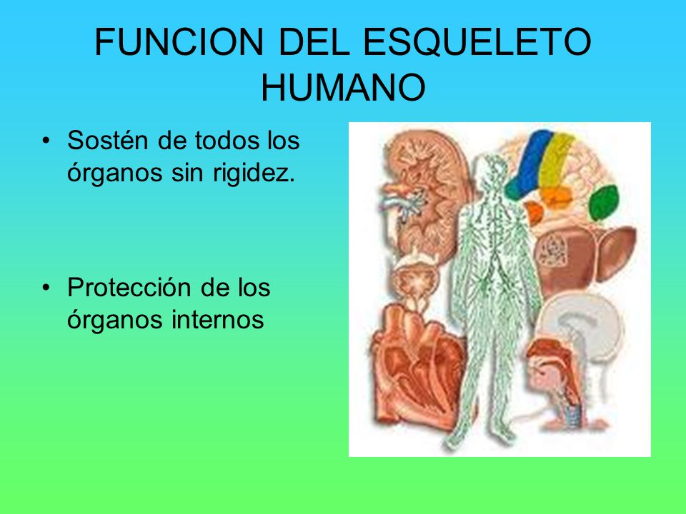 FUNCION DEL ESQUELETO HUMANO