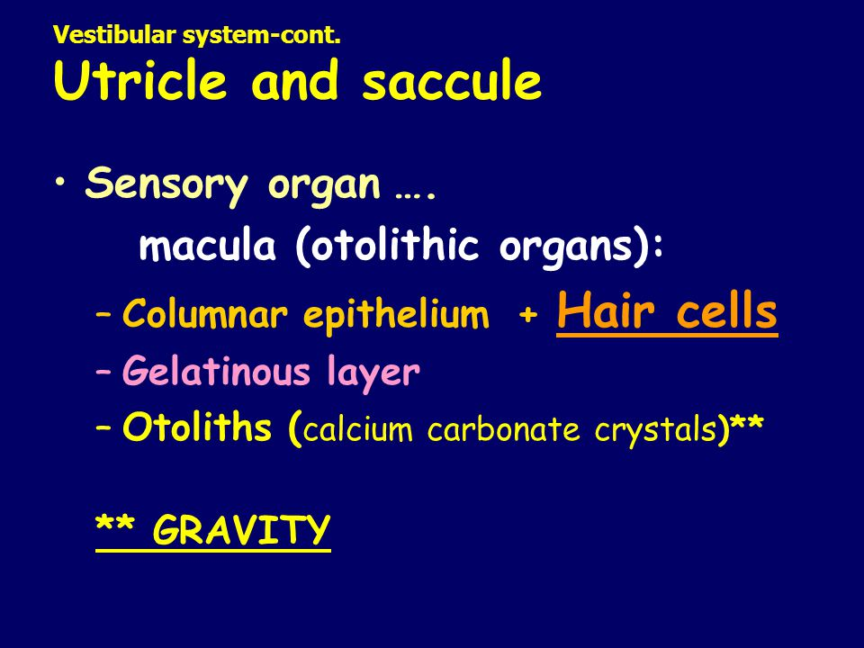 Vestibular system-cont. Utricle and saccule