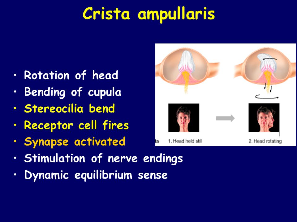 Crista ampullaris Rotation of head Bending of cupula Stereocilia bend