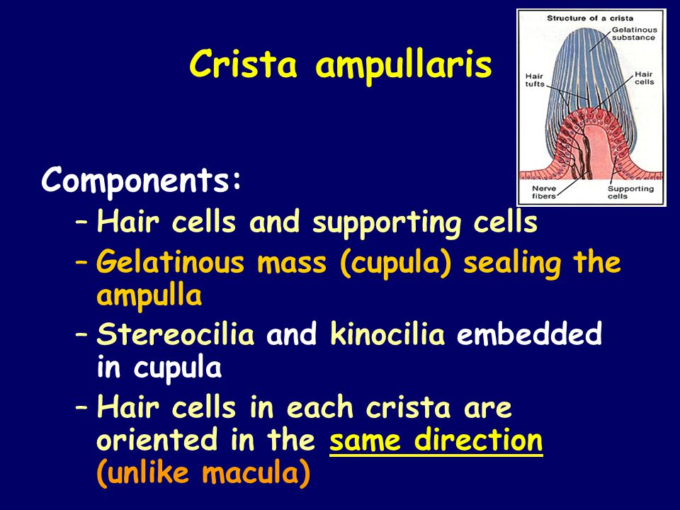Crista ampullaris Components: Hair cells and supporting cells