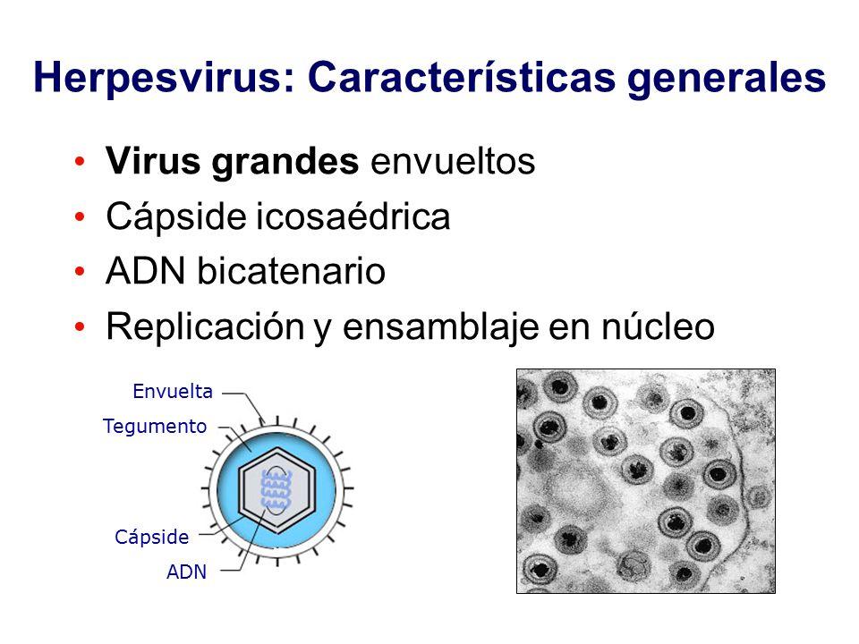 Herpesvirus: Características generales