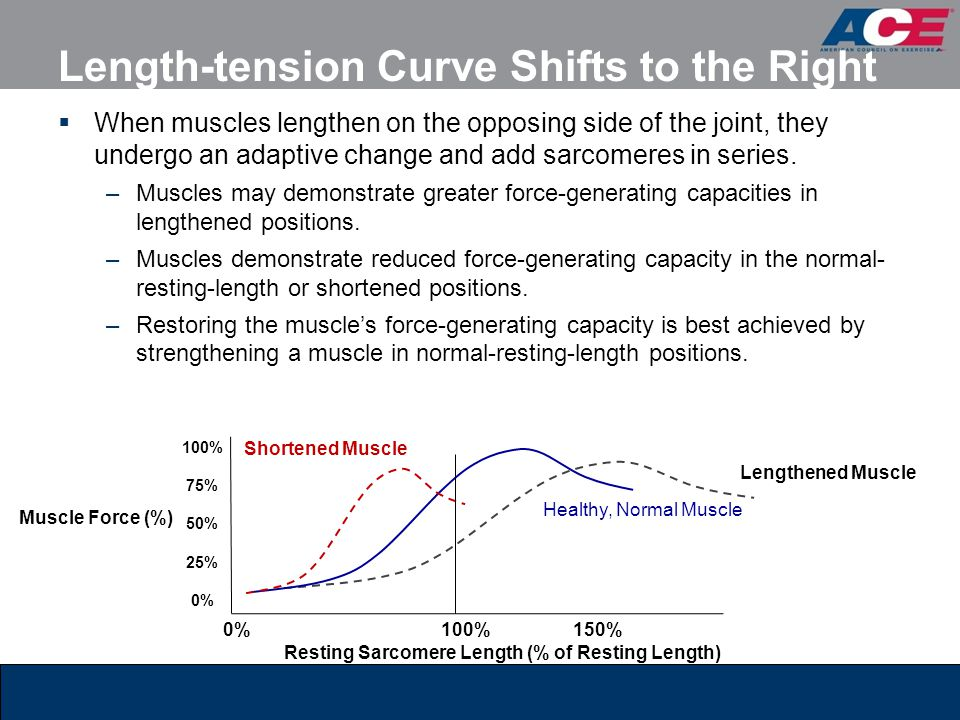 Length-tension Curve Shifts to the Right