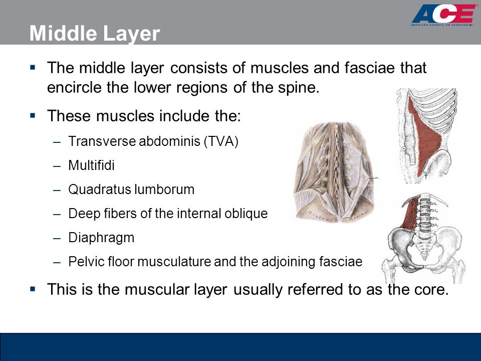 Middle Layer The middle layer consists of muscles and fasciae that encircle the lower regions of the spine.