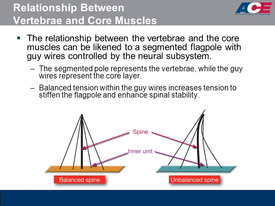 Relationship Between Vertebrae and Core Muscles