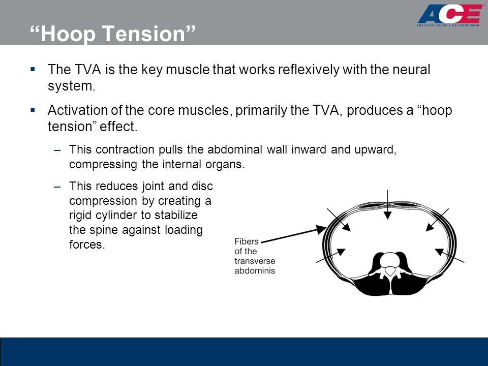 Hoop Tension The TVA is the key muscle that works reflexively with the neural system.