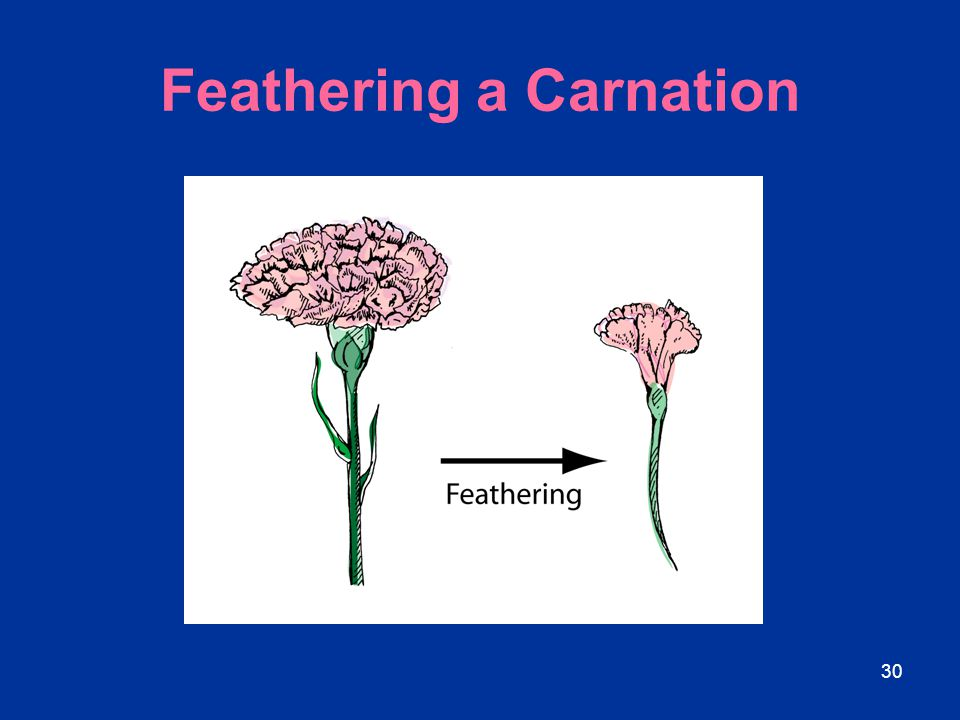 Feathering a Carnation