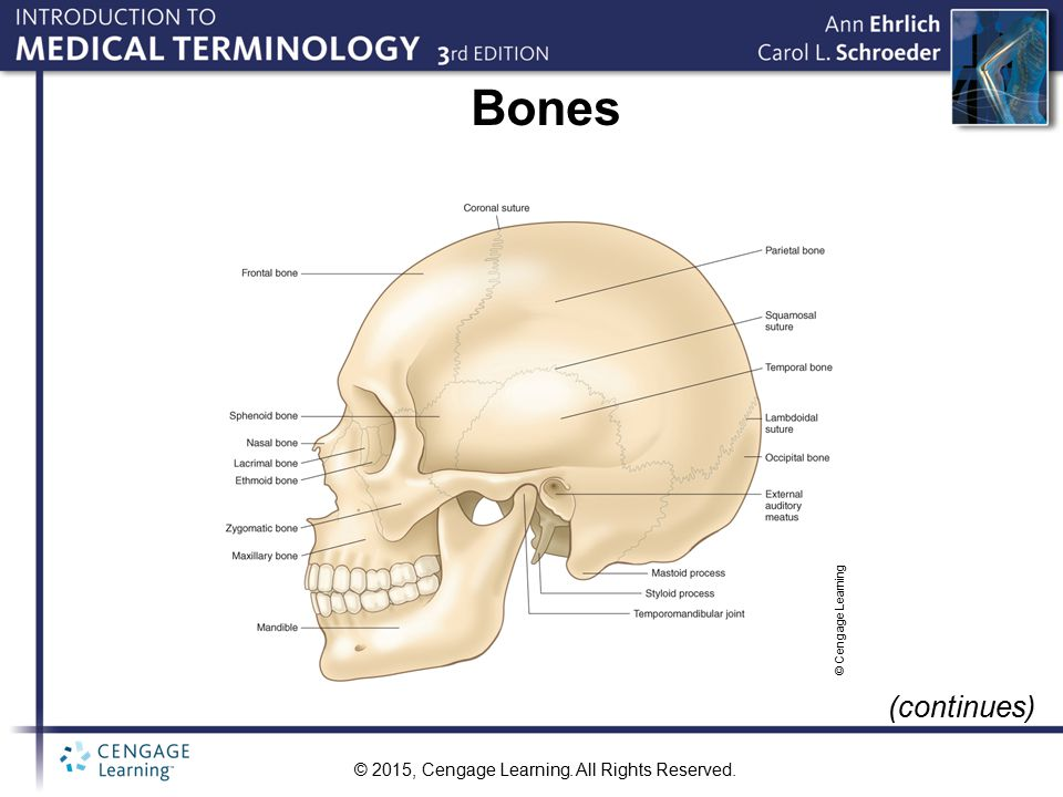 Bones © Cengage Learning (continues)