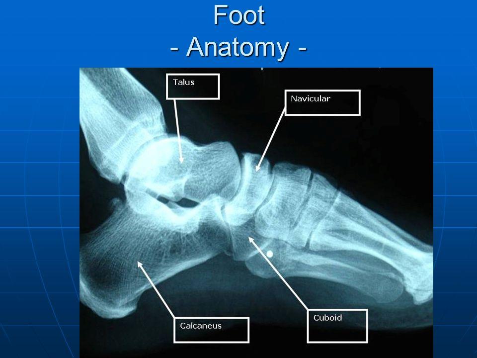 Foot - Anatomy -