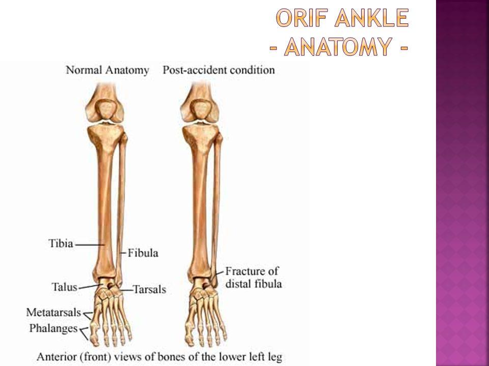 ORIF Ankle - Anatomy -