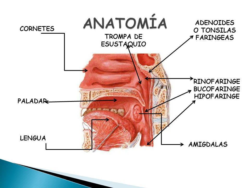 Hermosa Amígdalas Y Adenoides Anatomía Bandera - Imágenes de ...