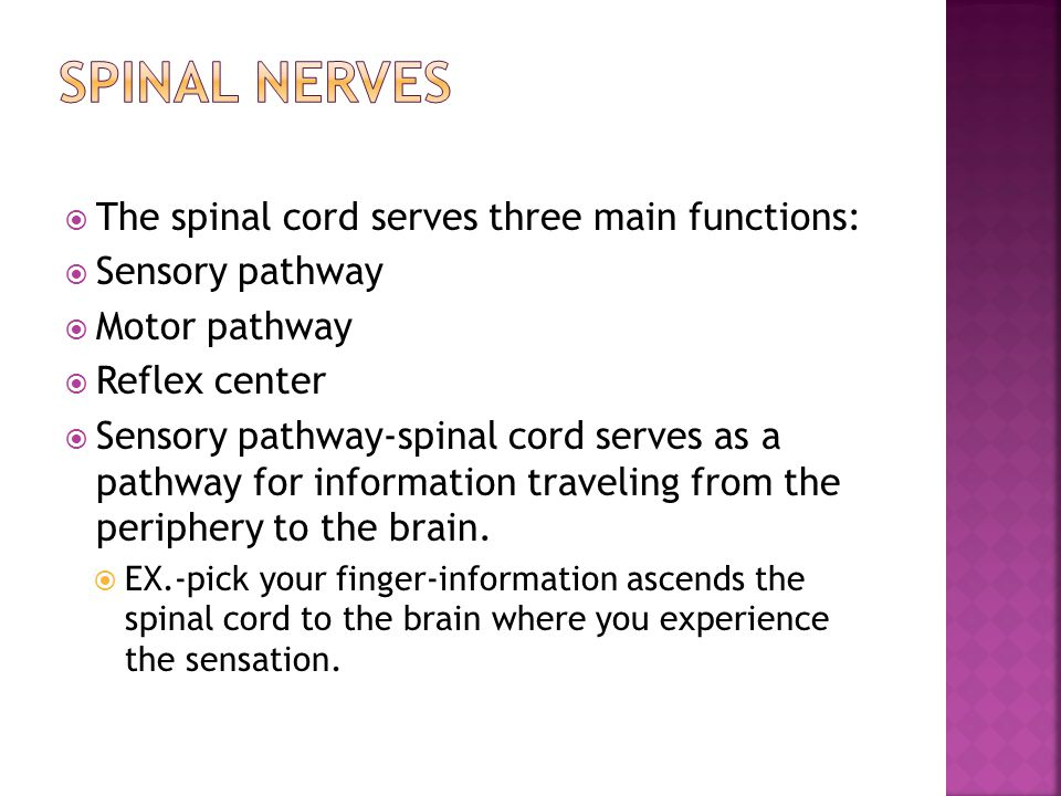 Spinal nerves The spinal cord serves three main functions: