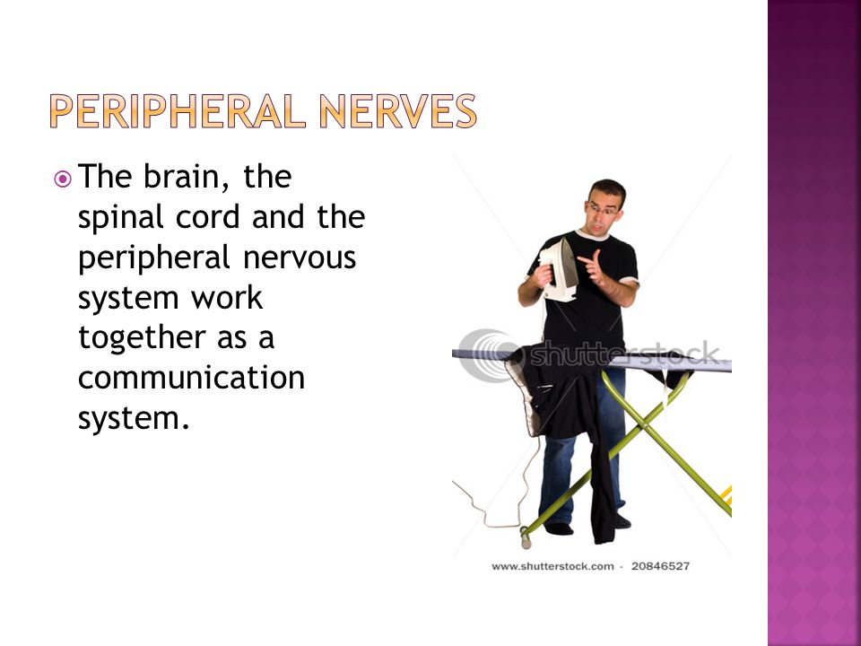 Peripheral nerves The brain, the spinal cord and the peripheral nervous system work together as a communication system.