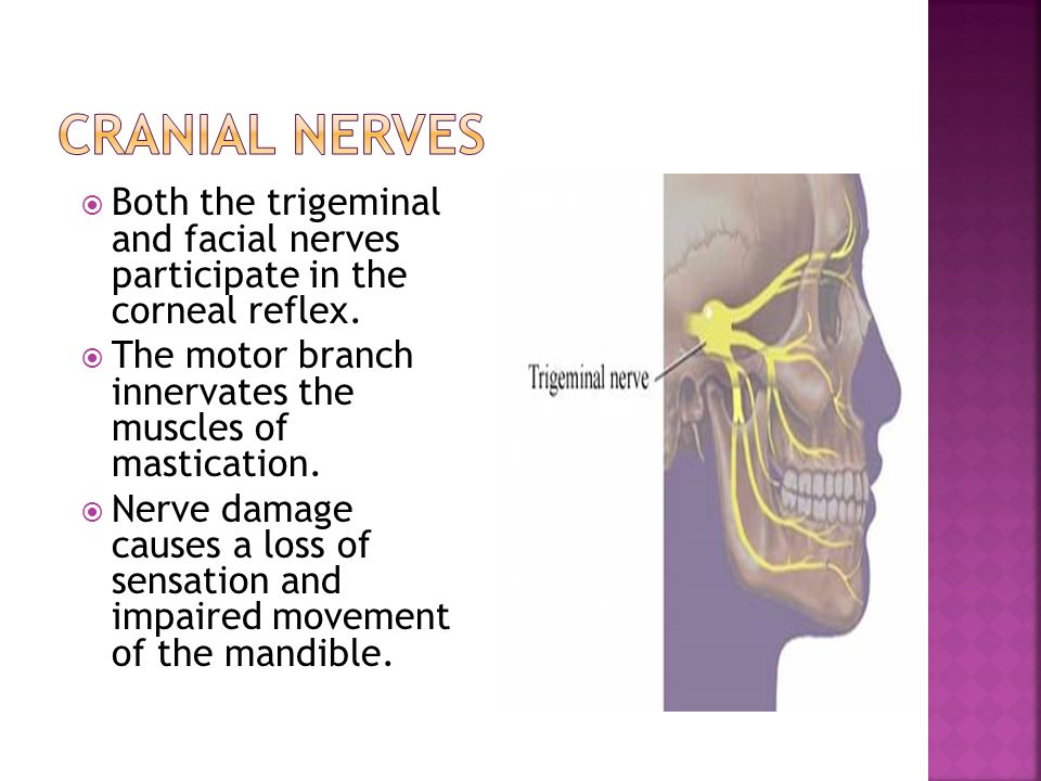 Cranial nerves Both the trigeminal and facial nerves participate in the corneal reflex.