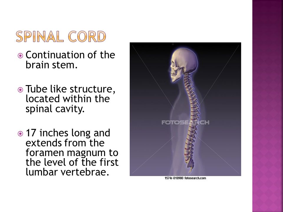 Spinal cord Continuation of the brain stem.