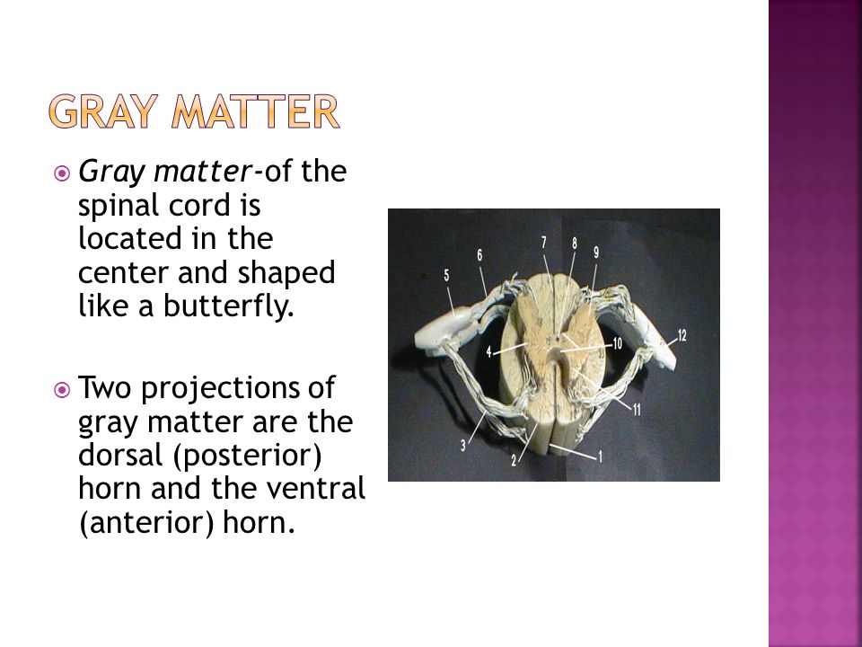 Gray Matter Gray matter-of the spinal cord is located in the center and shaped like a butterfly.