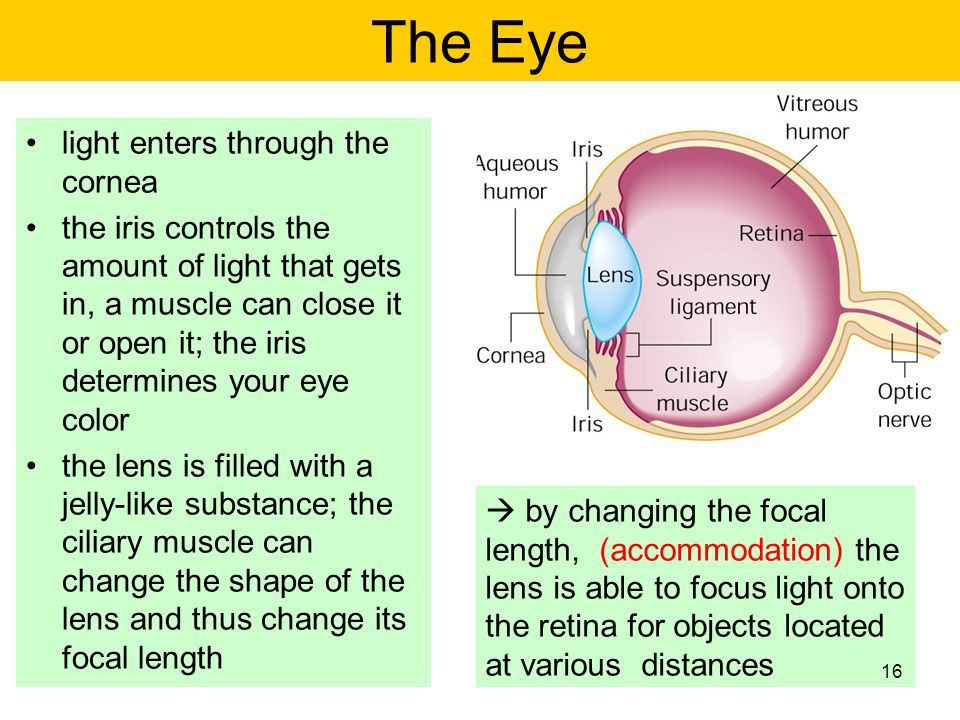 The Eye light enters through the cornea