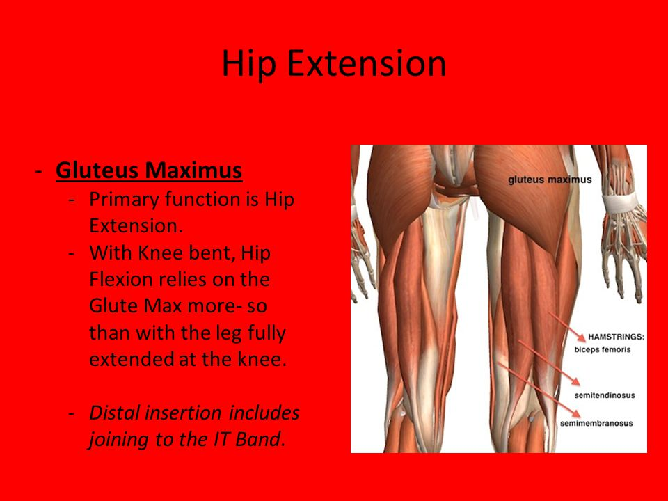 Hip Extension Gluteus Maximus Primary function is Hip Extension.