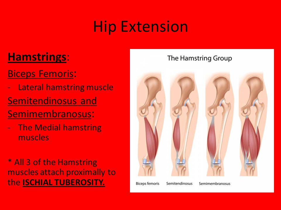 Hip Extension Hamstrings: Biceps Femoris: