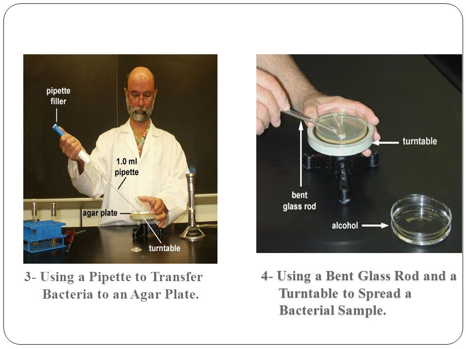3- Using a Pipette to Transfer Bacteria to an Agar Plate.
