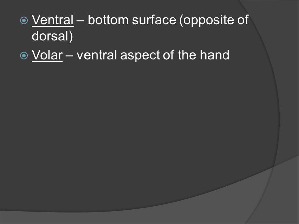 Ventral – bottom surface (opposite of dorsal)