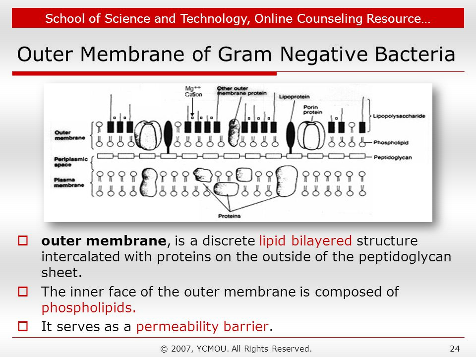 Outer Membrane of Gram Negative Bacteria
