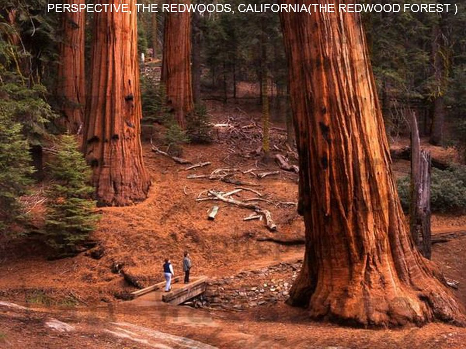 PERSPECTIVE, THE REDWOODS, CALIFORNIA(THE REDWOOD FOREST )