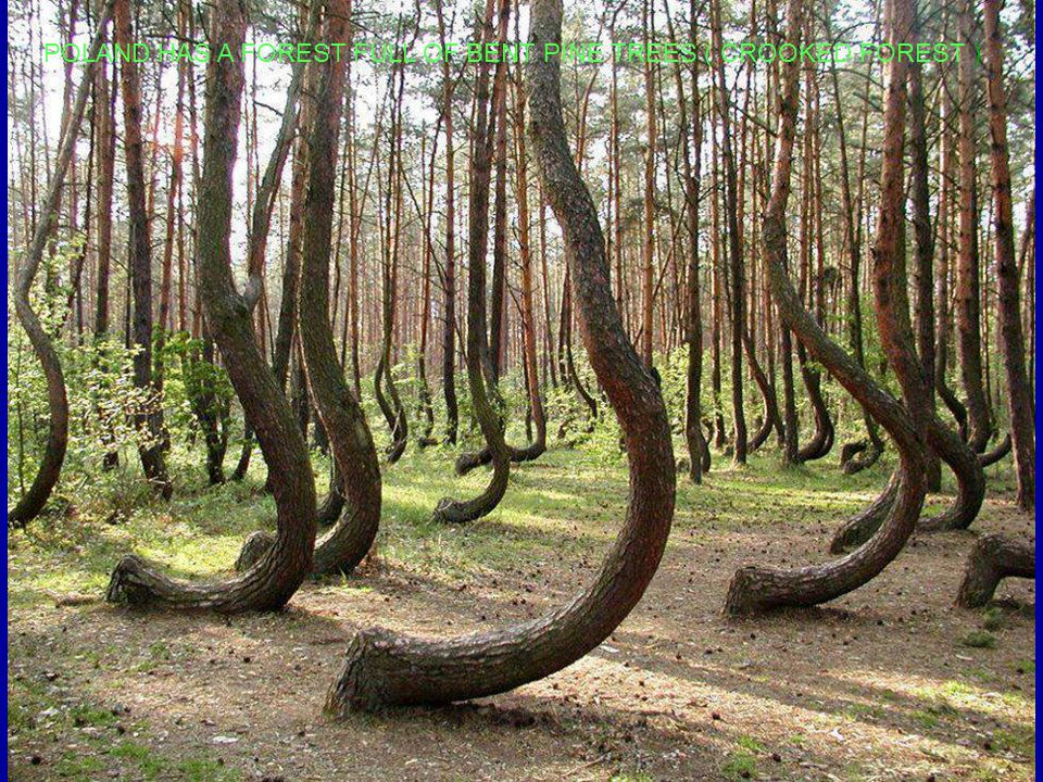 POLAND HAS A FOREST FULL OF BENT PINE TREES ( CROOKED FOREST )