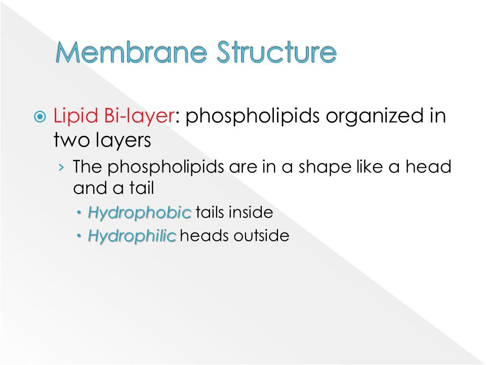 Membrane Structure Lipid Bi-layer: phospholipids organized in two layers. The phospholipids are in a shape like a head and a tail.